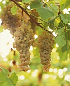 Pinot gris grapes on the vine, Trentino, Italy