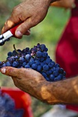 Nebbiolo grapes in winegrower's hand, Barolo, Piemonte