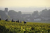Grape-picking in vineyards of Pommard, Cote d'Or, Burgundy