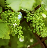 Genuine wine: thrives in a sunny spot