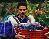Grape pickers with Tempranillo grapes in crates,Abadia Retuerta