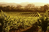 Vineyard in the Napa Valley region, California, USA