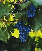 Weintrauben der Sorte Malbec, Maipu, Mendoza, Argentinien