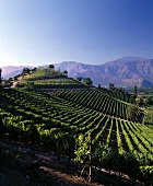 Don Maximiano vineyards in Aconcagua Valley, Chile
