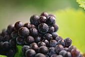 Pinot noir grapes, Dom Perignon, Champagne