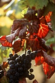 Red wine grapes for port wine, Douro, Portugal