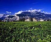 Weinberg bei Mezzocorona, Rotaliana Ebene, Trentino, Italien