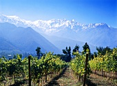 Vineyard near San Jose, Andes behind, Maipo Valley, Chile