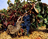 Sixty-year-old Tinto Fino grapes, Ribera del Duero