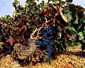 Sechzig Jahre alte Tinto Fino-Weintrauben, Ribera del Duero