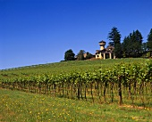 Vineyards in Willamette Valley, Oregon, America