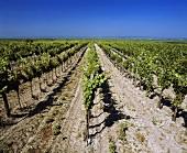 Vineyards near Illmitz, Neusiedler See behind, Burgenland