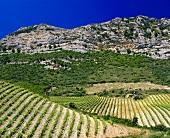 Antoine Arena's organic vineyard, Patrimonio, Corsica