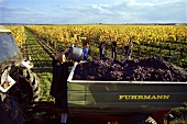 Grape picking in a vineyard near Tattendorf, Lower Austria