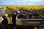 Weinlese in einem Weinberg bei Tattendorf, Niederösterreich