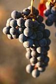 Merlot grapes on the vine, in sunlight