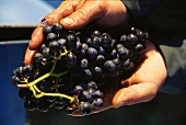 Hands holding freshly picked red wine grapes