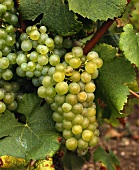 Semillon grapes on the vine with green foliage