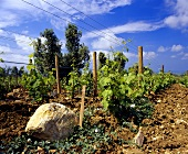 Weinberg mit Merlot-Reben, Ornellaia, Bolgheri, Toscana