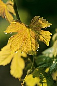 Autumn vine leaves in Corbières, S. of France