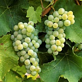 Sauvignon blanc (Blanc-Fúme), high quality white wine grape