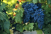 Grenache grapes in Les Baux-de-Provence, Rhone, France