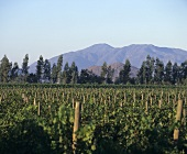 Vines growing in Curico Valley, Chile