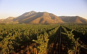 Weinanbau des Weinguts Santa Rita, Maipo-Tal, Chile