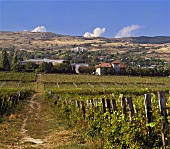 Vineyard at foot of Carpathians, Pietro Asale, Romania