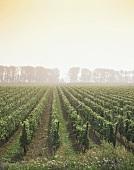 Vineyard at Kallstadt, Rhine  Palatinate, Germany
