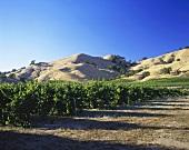 Vineyards near Healdsburg, Sonoma, California, USA