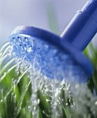 Watering lawn with blue watering can