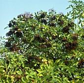 Elder (Sambucus nigra L.)