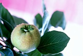 Quince on the branch