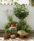 Herbs in terracotta pots in front of garden wall