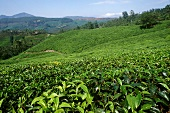 Tea plantation in Munnar, Kerala State (India)