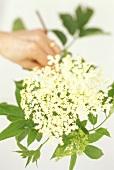 Hand holding spray of elderflowers
