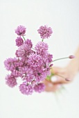 Hand holding chive flowers