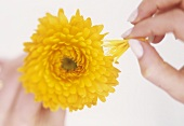 Hand pulling the petals off a marigold (Calendula officinalis)