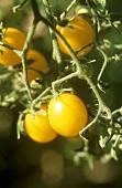 Cerise Jaune (or Cerise Orange) cherry tomatoes