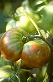 Black Krim (or Noire de Crimée) tomato on the vine