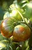 Black Krim (or Noire de Crimée) tomato on the vine