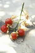Sticky nightshade (Morelle de Balbis, Solanum sisymbriifolium)