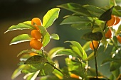 Kumquats on branches, Grasse, S. France