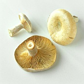 Three milkcaps (Lactarius helvus), seasoning mushroom