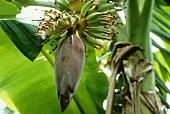 Banana flowers with young fruit (Asia)