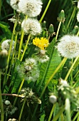 Dandelion flowers in the meadow