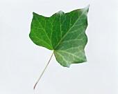 An ivy leaf
