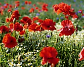 Klatschmohn, Kornblumen und Kamille auf einem Feld