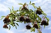 Ein Zweig schwarzer Holunder vor blauem Himmel